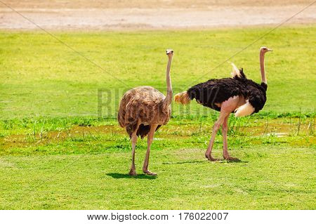 Female and male ostriches at the pastures of Kenyan savannah, Africa