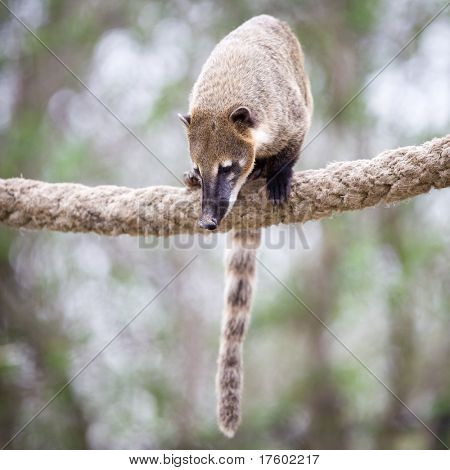 portrait of a very cute White-nosed Coati (Nasua narica) aka Pizote or Antoon. Diurnal, omnivore mammal poster