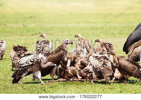 Vultures flock eating carrion at Masai Mara National Reserve in Kenya, Africa