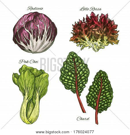 Lettuce salads and vegetables leaves vector sketch icons. Isolated leaf of chard, radicchio or lollo rossa and pak choi. Vegetarian cuisine ingredients and condiments