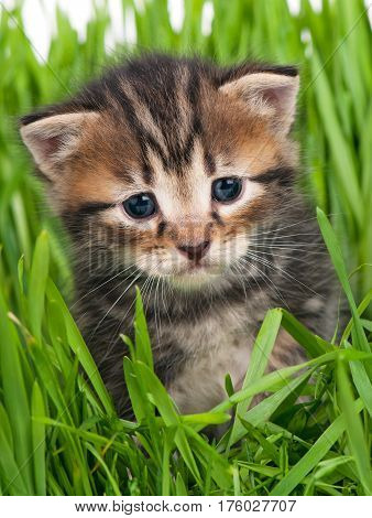 Cute little kitten in the bright green grass over white background