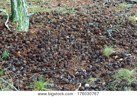 coniferous pinecone forests needle rotten wood forests