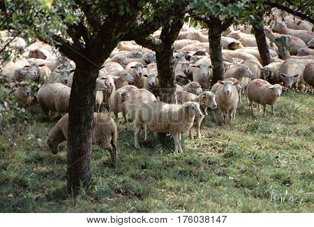 Flock of sheep animals in Savoy france