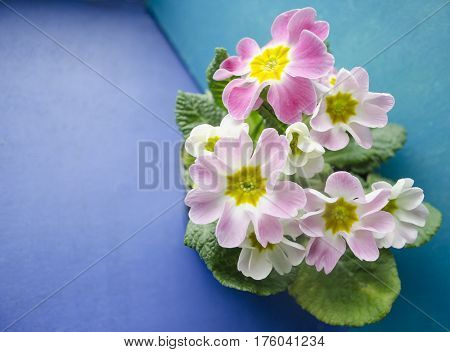 Spring primrose flowers. Floral background with primrose flowers. Delicate primula flowers on a blue and turquoise background.