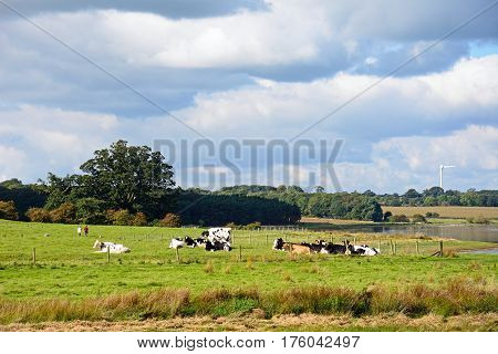 Herd of cows sitting in a field by Blithfield reservoir Blithbury Staffordshire England UK.