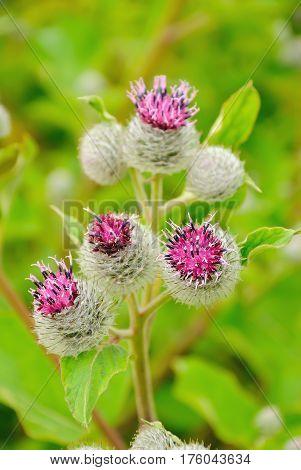 Flowering Great Burdock (Arctium lappa) on meadow