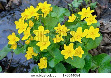 Marsh Marigold (Caltha palustris) flowers selective focus