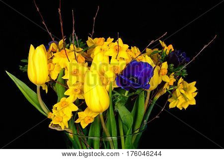Bouquet of flowers with yellow tulips and daffodils against a black background UK.