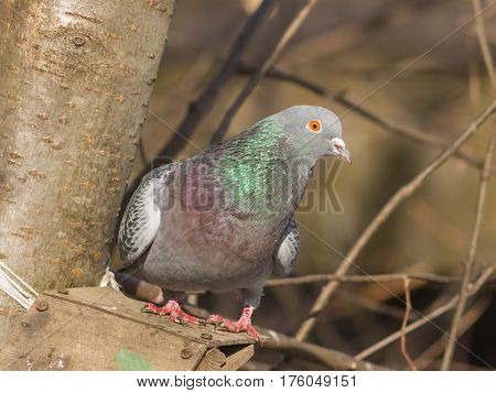 Closeup portrait of Rock Dove Columba livia at birdfeeder in forest selective focus shallow DOF.
