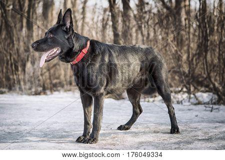 Black Belgian Shepherd Groenendael Full Lenght Portrait In The Winter Forest