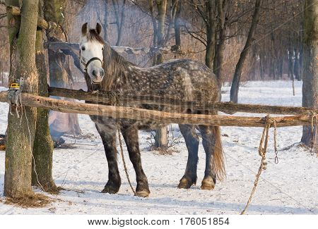 An old dappled mare in winter outdoor stall.