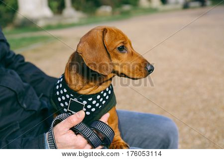 Dachshund puppy in a fleece and harness relaxing in a park sitting on its owner's lap.