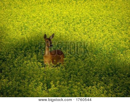 Roe Deer In Yellow Field