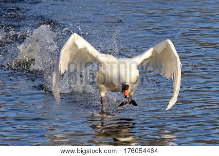A mute swan Cynus olor flapping its wings to take off from a lake.