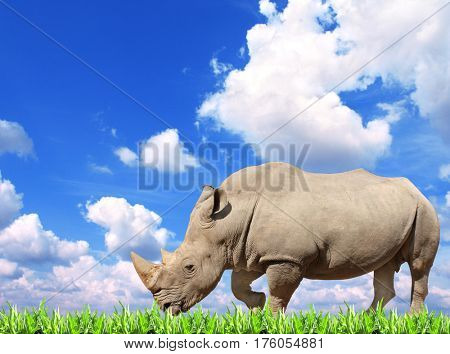 White rhinoceros (square-lipped rhinoceros, Ceratotherium simum) and green grass. On background with blue sky and white clouds