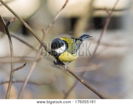 Great tit Parus Major close-up portrait on branch with bokeh background selective focus shallow DOF.
