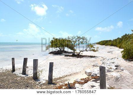 Árbol de botoncillo en la playa en los Cayos de Florida Árbol de botoncillo en la playa en los Cayos de Florida