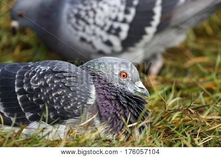 A feral pigeon resting as another feeds behind