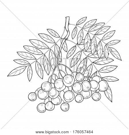 Vector branch with outline Rowan or Rowanberry, leaves and berry isolated on white. Illustration with autumn berry. Floral decor with rowan bunch in contour style for autumn design and coloring book.