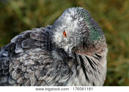 A feral pigeon preening it's neck feathers