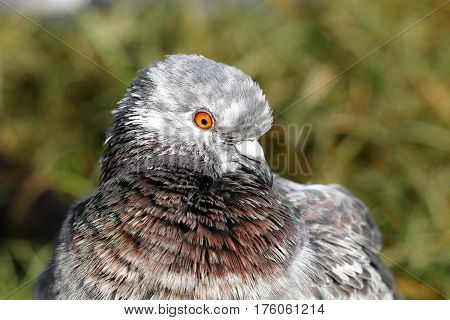 A feral pigeon with a dusting of white feathers