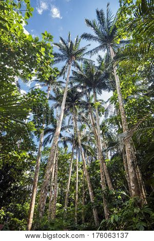Long satakentia liukiuensis trees under sky in Ishigaki island