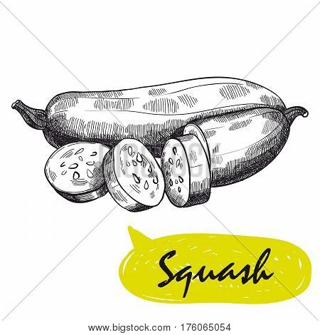 squash. hand drawn vector sketch on a white background