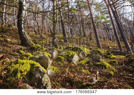 Moss on the Rocks in Birch Forest, Mala Fatra, Slovakia