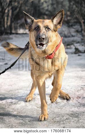 shepherd dog walking in the winter forest