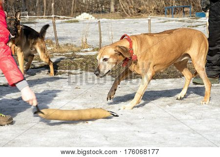 Rhodesian Ridgeback Dog Attacks And Bites During The Training Course