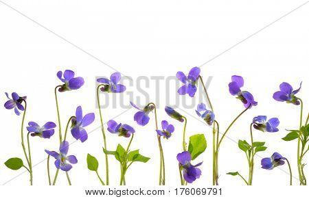 Viola odorata flowers on white background