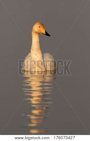 Whooper swan Cygnus cygnus swimming on the pond