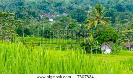 Lush green Rice tarrace in Sidemen, Bali, Indonesia