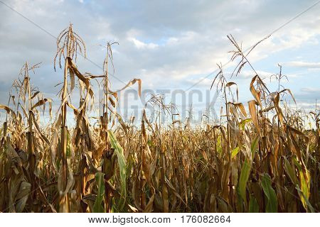 Close up of cornfield in autumn time