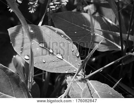 Water drops on leave in black and white