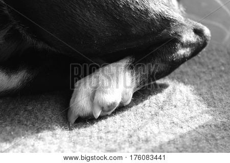Dog's rare leg with claws. Black and white dog's leg on the textile pad. Detail of dog's paw with joint.