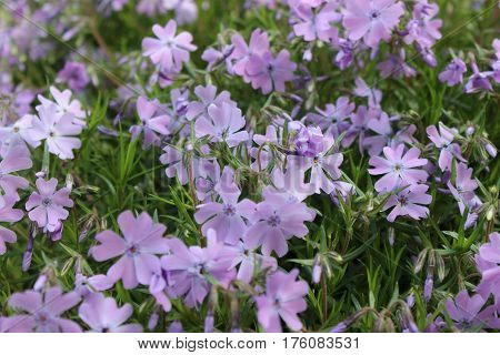 Creeping phlox border of violet color. Violet small flowers of moss phlox in the garden. Flowers of mountain phlox in sunny garden.