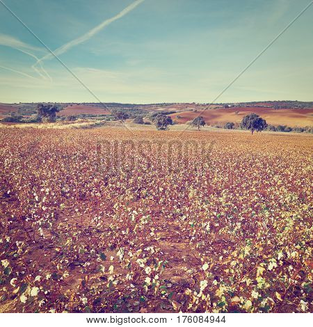 Cotton Field in Spain Ready for Harvests Instagram Effect