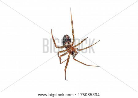 Spider hanging belly on isolated white background