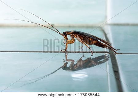 The cockroach crawls along the blue tile