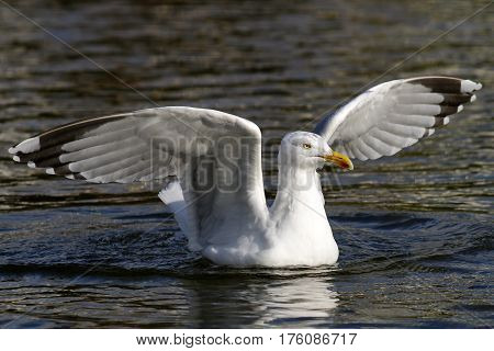 A Herring Gull landing on water with wings outstretched