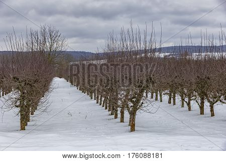 orchard in winter with snow in harmonic row