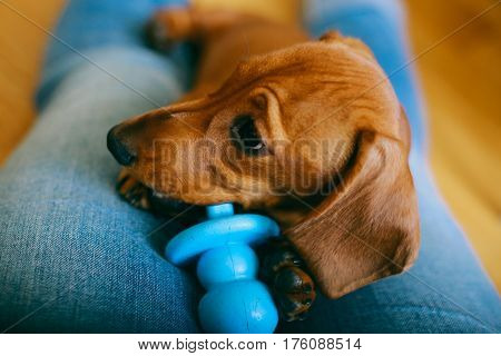 4 months old smooth brown dachshund puppy resting with its owner, playing with chewy toy.