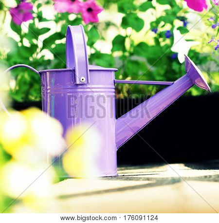 watering petunia flowers in balcony in summer day
