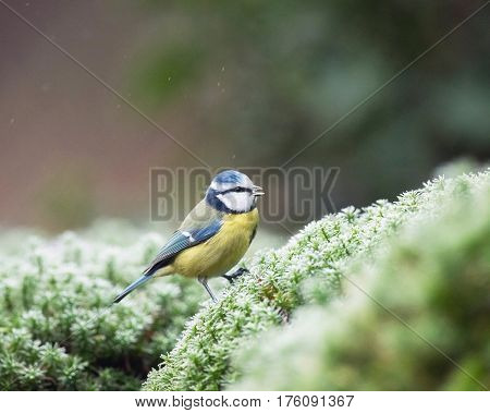 Blue Tit Sitting On Moss At Edge Of Pond.