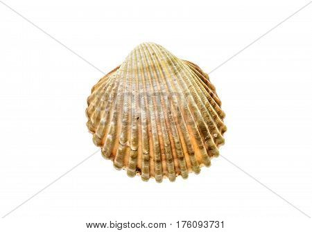 Fresh Rough Cockle Clam (acanthocardia Tuberculata) Shell Isolated.