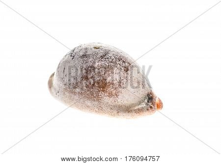 Cowry Or Cowrie - Luria Lurida Sea Snail Slug Shell Isolated