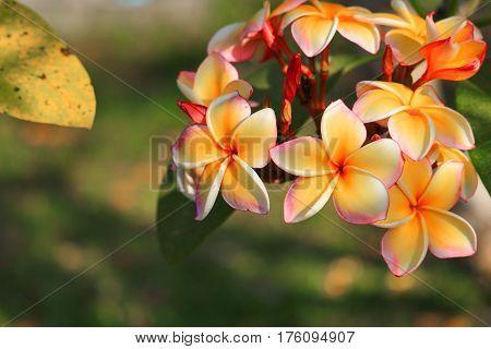 plumeria flower yellow or desert rose beautiful on tree ( Common name Apocynaceae Frangipani Pagoda Temple )