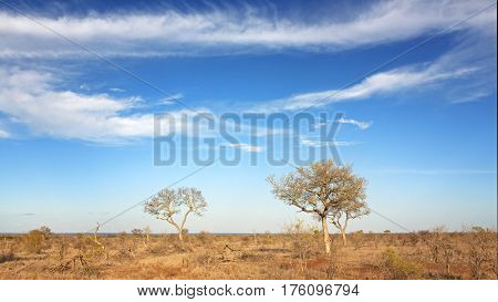 Under African skies. The scrubland of Kruger National Park following a severe drought. South Africa.