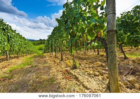 Vineyard with Ripe Grapes in the Autumn